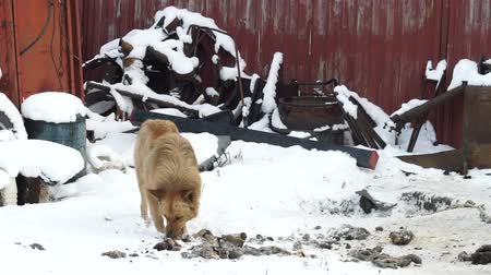 wandering : Stray dog eating scraps outside, winter, cold