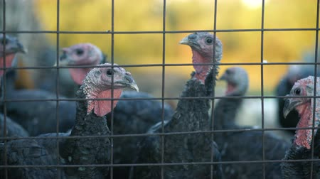 camionagem : Turkeys in the cage, turkeys look at the frame