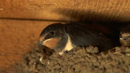 Calm chicks are sitting in the nest, the chicks are ready for bed, the titmouse Stok Video