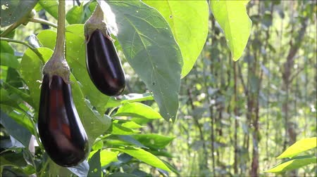 ve slupce : Plant growth of eggplant in the garden