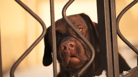 dog pound : dog is looking over Fence Stock Footage