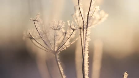 иней : appears hoarfrost, plants in frost. Стоковые видеозаписи