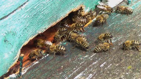 botanics : Honey bees swarming and flying around their beehive