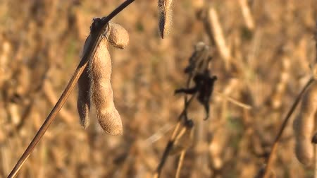 iowa : Soybeans Ready for Harvest, Soy Bean Stock Footage