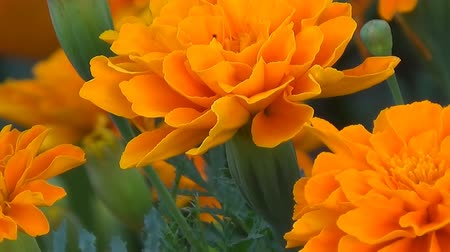 common marigold : Flowers marigolds stand motionless