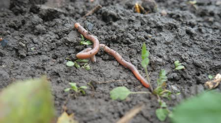 grotesque : The Earthworms Lie On Ground Stock Footage