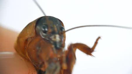 stag beetle : Mole cricket lat. Gryllotalpidae is actively trying to escape from the mans hand, close-up. Stock Footage