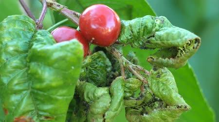 aphidoidea : Aphids Plant lice on a cherry tree leaf. Myzus cerasi are a pest on a cherry leaf