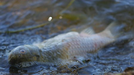runoff water : Fish dead killed from polluted water in lake. On the waves.