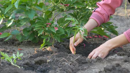 росток : Female hands plant in the ground young green shoots of tomatoes on a vegetable plantation.