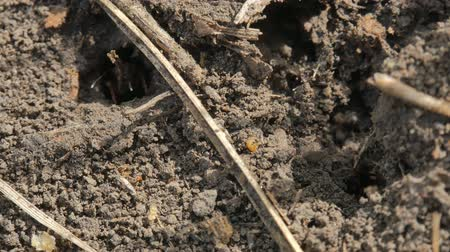 formicidae : Ants running around near hole in ground, Macro and close-up insect. Stock Footage