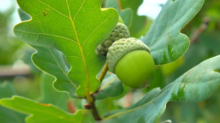 žalud : Green acorn on the oak. Acorns on the tree.