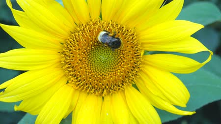 beporzás : Sunflower working bee bright sunny weather close up natural energy organic farming clean farm outdoors honey pollen bees