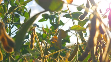 iowa : Branches of soybean under the blue sky, against the rays of the sun. Dry and green soybean.