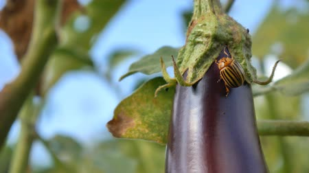 alguns : Colorado Pest Beetle On Eggplant and Leaves