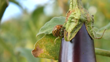 ripen : Colorado Pest Beetle On Eggplant and Leaves