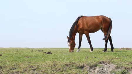 feed on : Brown horse grazing in a meadow