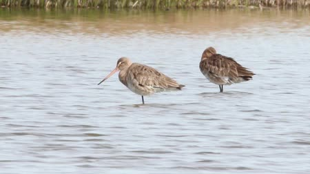 limosa : Black tailed Godwit resting in water