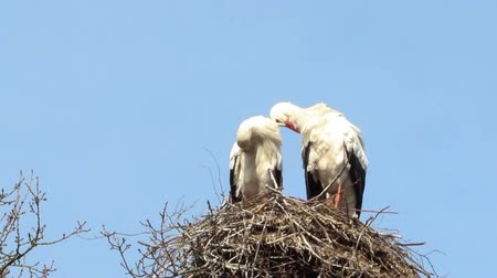 ciconiidae : Storks cleaning themselves on their nest Stock Footage
