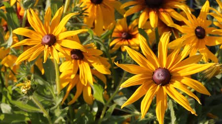botanik : Yellow flowers Rudbeckia in the garden swaying from the light wind, summer sunny day. Stok Video