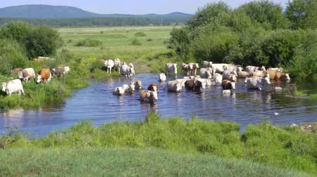cows cross the river
