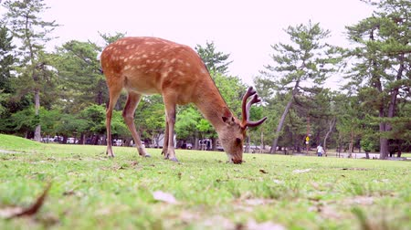 geyik : Deer Grazing On Grass In Nara Park Famous Place in Kansai, Japan Stok Video