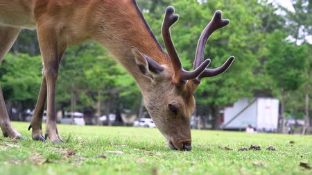 geyik : Closeup Deer Grazing On Grass In Nara Park Famous Place in Kansai, Japan Stok Video