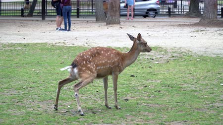 geyik : Deer Peeing On Grass In Nara Park Famous Place in Kansai, Japan
