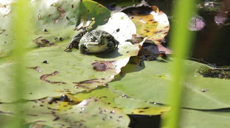 amphibia : bee crawling on frog