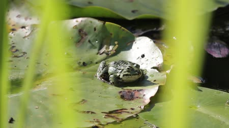 amphibia : Marsh frog sitting on the green leaves among water lilies on the lake