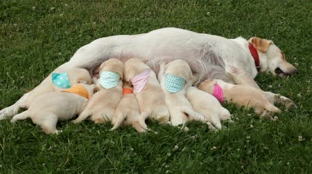 Group of eight newborn labrador retriever puppy sucking milk from their mother - lying on the grass, wide shot