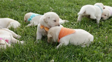 Group of small labrador retriever puppies lying in the grass resting after a meal Stock Footage