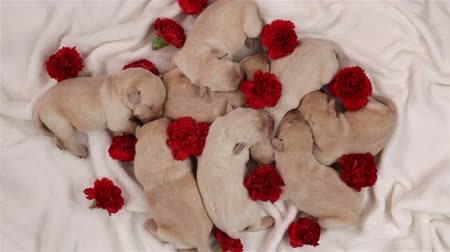 Puppies sleeping together among scattered red carnations - top view Stock Footage