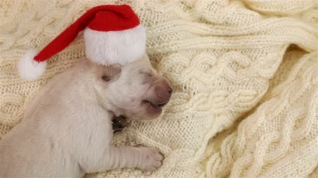 Newborn labrador puppy dog at christmas sleeping on woolen blanket with a santa hat - closeup, top view
