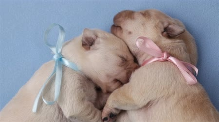 Two adorable newborn labrador dog puppies sleeping cuddled up to each other - top view