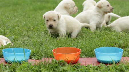 Young labrador retriever puppies discover the new flavors of food - camera slowly slide