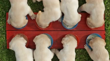 Young labrador retriever puppies eating their food from individual bowls - top view, static camera