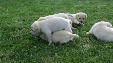 Group of clumsy small labrador retriever puppies playing in the grass Stock Footage
