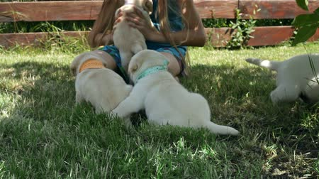 Girl playing with adorable labrador puppy dogs - petting them in the shade in summer time