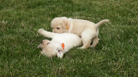 Two adorable labrador puppy dog girls wrestling and playing in the grass Stock Footage
