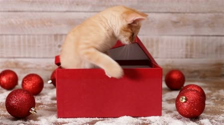 kočkovitý : Cute kitten emerge from xmas present box and start playing with christmas ball decorations - static camera Dostupné videozáznamy