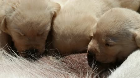 Newborn labrador retriever puppies working hard for their mothers milk - sucking, close-up Stock Footage