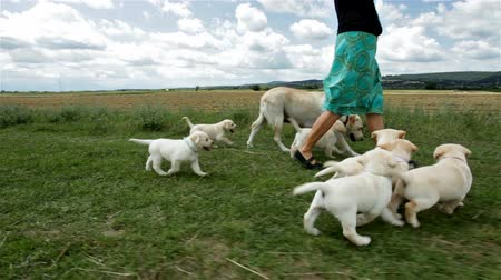 Cute labrador puppies walking running in the grass with their mother and owner - closeup, agricultural field background, camera follows Stock Footage