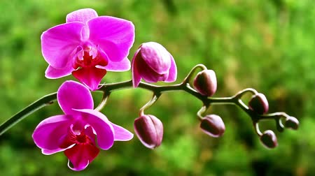 orchideák : Pink orchid on the nature