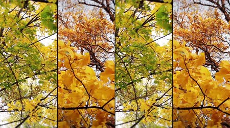 red maple : Autumn collage Stock Footage