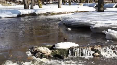 bird family : Ducks in winter near the river Stock Footage