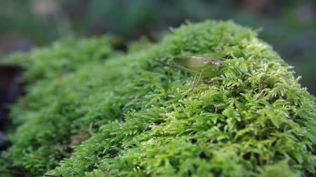 gafanhoto : Grasshopper on the moss in forest Vídeos