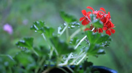 герань : Pelargonium in the rain Стоковые видеозаписи