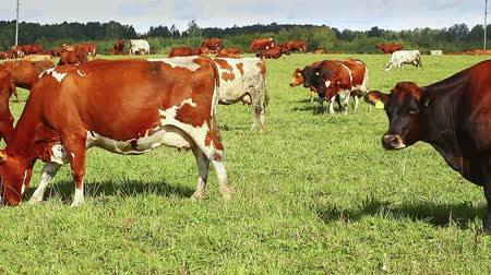 otlama : Cows graze in the meadow near to the farm