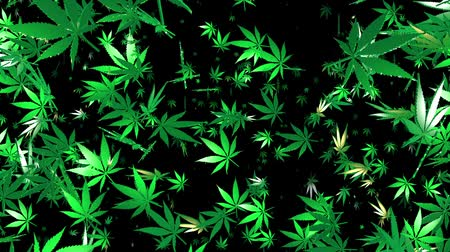 сорняки : Flying cannabis leaves on black background